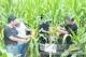 德州选育玉米品种实现籽粒直收