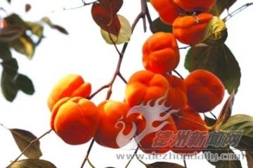 在记忆深处的红柿子