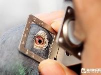 平原:以鸽会友 以鸽传文