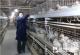 鑫农畜禽养殖农民专业合作社 中草药防病 养出放心鸡