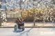 随着气温回升  德州市道路两侧的梨花等树木盛开