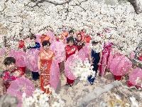夏津:梨花如雪引客来