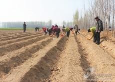 理合务镇扩大丹参种植面积100亩 全面助力集体增收