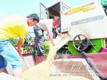 14万亩小麦收割接近尾声全区夏播面积已完成30%