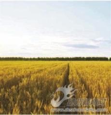金色的麦子