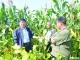 德城:1亩高叶酸玉米多挣2200元