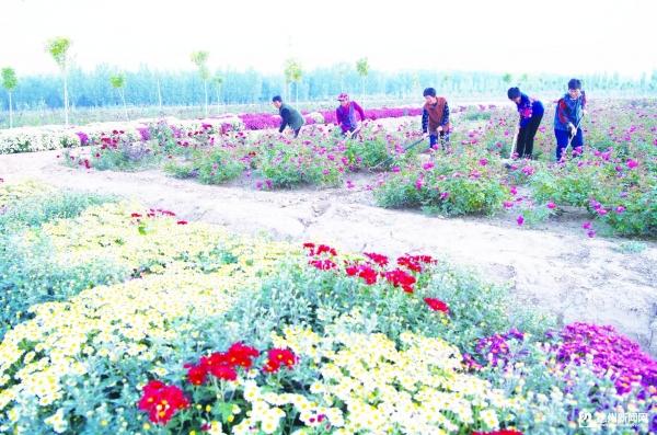 宁津辰泉花卉园——月季铺就脱贫路