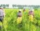 德平镇——栽下黄花菜 培育增收产业