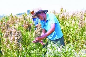 4500亩藜麦香飘黄河岸