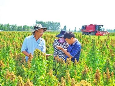 齊河:藜麥香飄黃河岸
