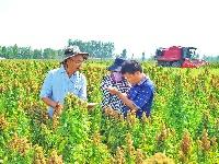 齐河:藜麦香飘黄河岸