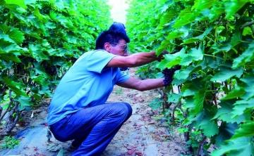 徽王庄镇——葡萄成熟 果农丰收
