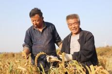 大黄邱村300亩谷子一派丰收景象