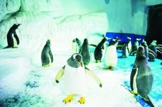 泉城海洋极地世界  企鹅家族又添新成员