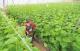 平原县——一年60万吨蔬菜销往京津济