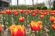 快来德州城区植物园,万株郁金香进入盛花期,那叫一个美!