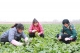 武城菜农150多吨白萝卜、菠菜滞销