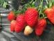 1颗草莓卖3元!齐河农旅融合提升效益