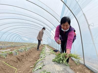 保店镇:龙头企业带动 做大蜜薯产业