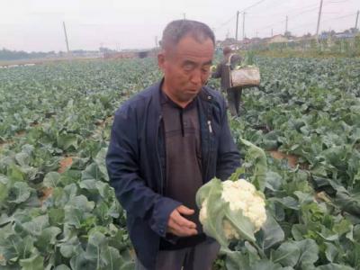 乡村振兴在行动 | 陵城区丁庄镇:蔬菜田里话丰年