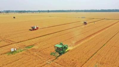 收麦子了!德州810万亩小麦开镰收获!将持续一周时间